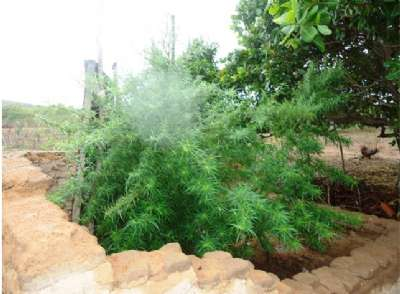 plantação1