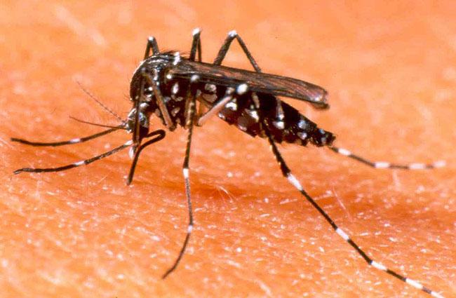 mosquito_da_dengue_foto_divulgacao_650x425