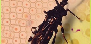 Aplicativo ajuda a identificar vetores da doença de Chagas