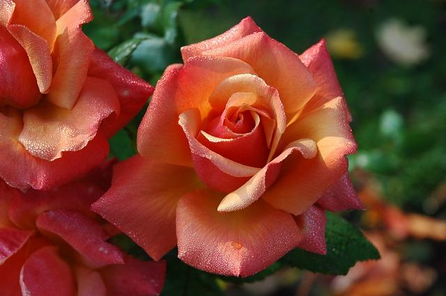 roses-194490_640