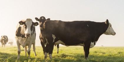 Brasil retomará exportações de gado para a Jordânia