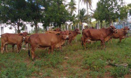 bovinos-sandi